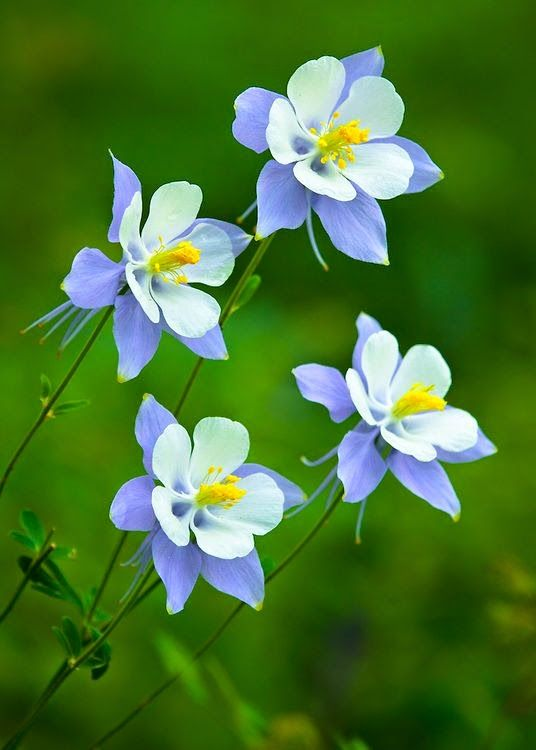 COLUMBINE Flowers Crab Apple Flowers  : In autumn the plant also offers lovely edible fruit  Columbine (Aquilegia caerules) , Best grown in semi-sha...