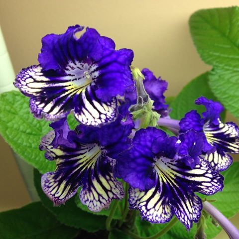 Ultramarine - Russin hybrid I think? This is Terri Vicenzi's photo. Stunning plant. I will hopefully get a leaf from her at some point.