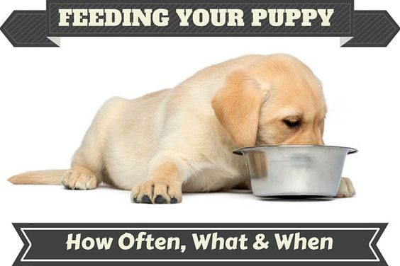 proper way of feeding a puppy