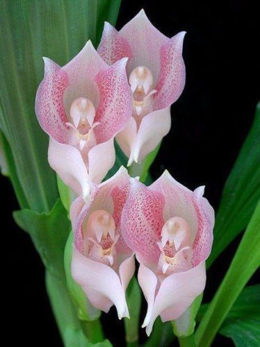 100-pcs-Tulips-Orchids-seeds-Grotesque-like-a-baby-wrapped-in-Anguloa-bonsai-g
