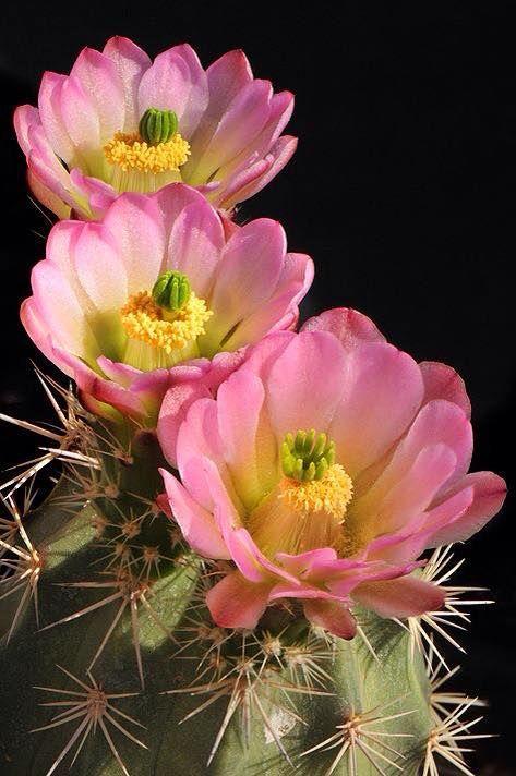Echinocereus triglochidiatus | kingcup cactus, claretcup, or Mojave mound cactus