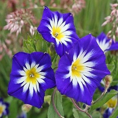 Morning Glory Royal Ensign - Grow this deep blue mounding variety from Dwarf Morning Glory seeds for colorful, hardy, compact bedding plants.