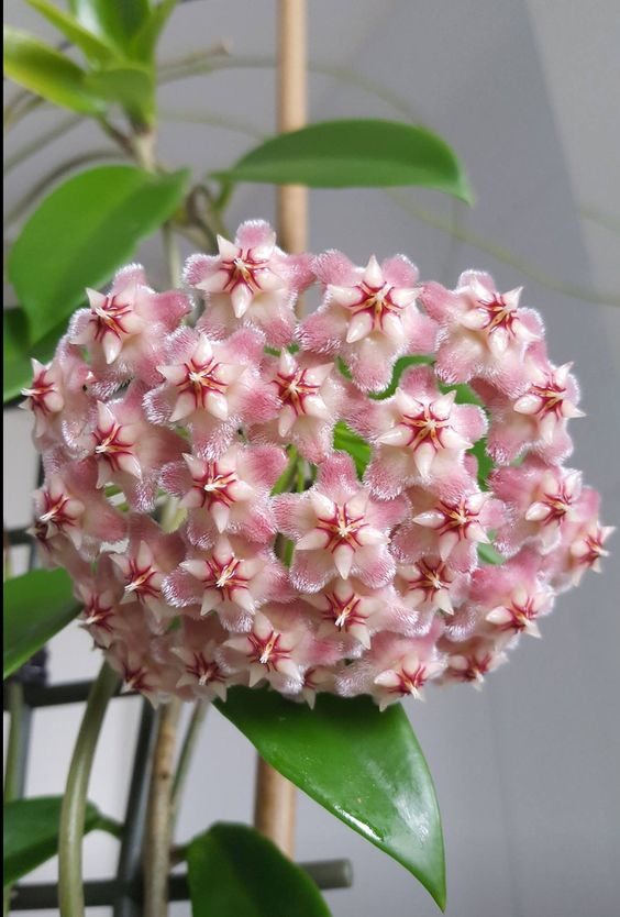 Hoya pubicalyx pink dragon just opened her flowers!